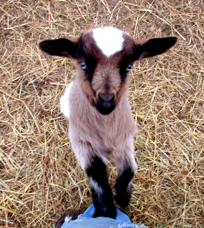 fainting goats At our hobby farm in northern colorado we breed and raise the barnyard buddies miniature fainting goat herd everyone who meets our goats falls in love with them.